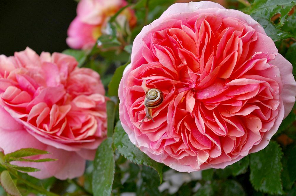 一度は咲かせてみたいイングリッシュローズ「アブラハムダービー」