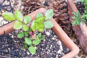アトリエの庭づくり~挿し木で育てる~