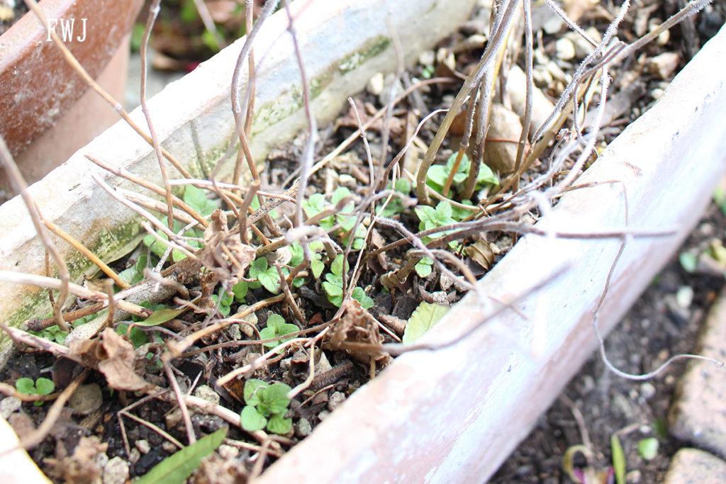早春 枯れ枝から新芽が出るカラミンサ