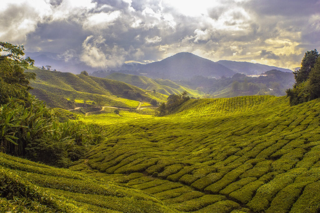 紅茶の歴史 お茶は中国から
