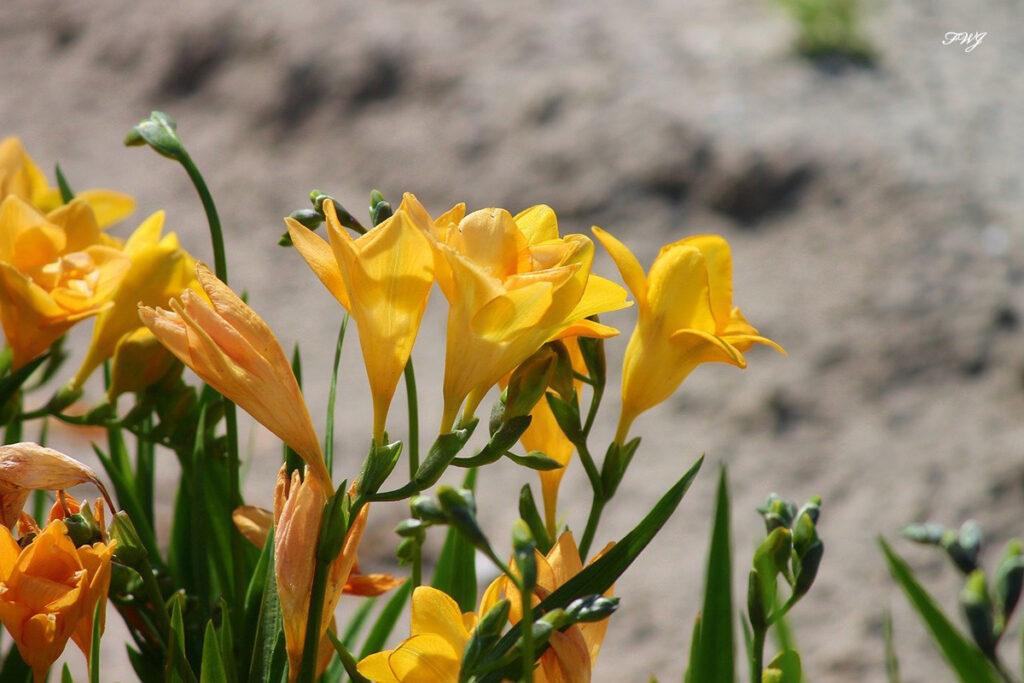 香りのある花 フリージア