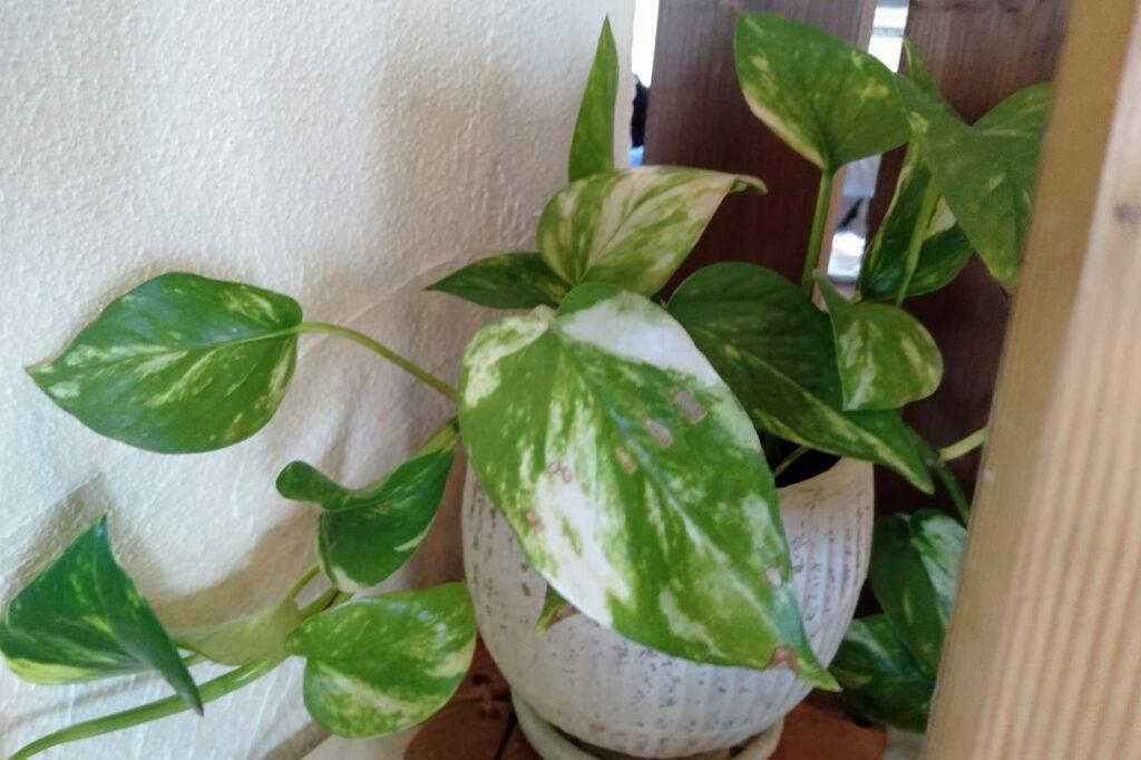 毒のある植物 ポトス